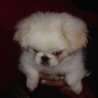 pekingese baby