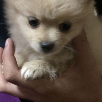 pure breed toypom