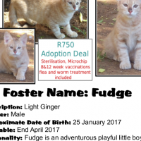 Fudge - a light Ginger male kitten rescued by CatzRUs.