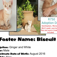 Biscuit - CatzRUs Adoption fee incl. sterilisation, microchip, inoculations, etc