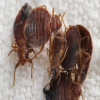 UNWANTED BED BUGS - PEST CONTROL SERVICES
