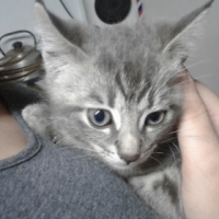 Light Grey Kitten for sales