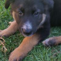 German Shepherd X Border collie  pups