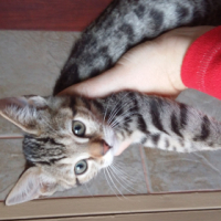 Loving Bengal kittens available