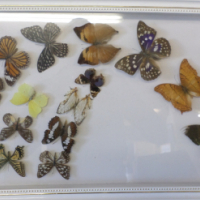 Butterfly Collection Frame