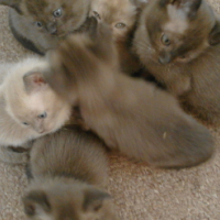 Beautiful Burmese Kittens for Sale