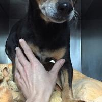 Found Miniature pinscher dog in queenswood Pretoria - Looking for owner