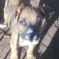 Labrador X Boxer puppies