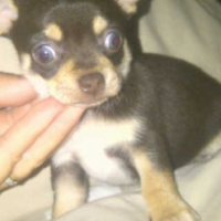 Cutest Chihuahua puppies Now Available