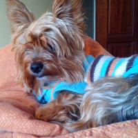 WANTED: Mini Yorkie Sarah ***Reward 5.000 ZAR*** Pretoria Pierre van Ryneveld Dog Missing
