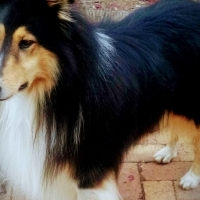 Rough ( lassie ) type collie puppies for sale