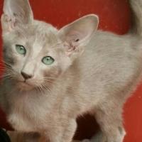 Siamese Oriental kittens