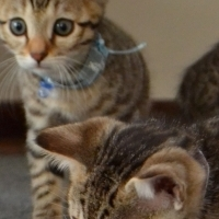 Cute bengal males available