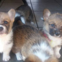 Corgy puppies for sale