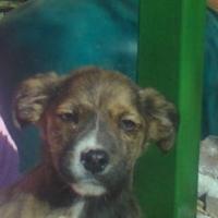 Boston Terrier X Miniature Dachshund puppy