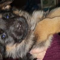 German Shepherd Female puppy