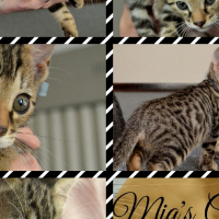 Male Bengal kittens available