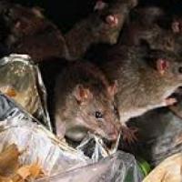 Identify a Rodent Infestation