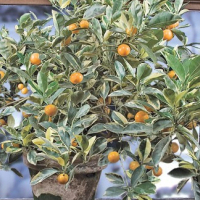 variagated calamondin Trees for sale - contact for price