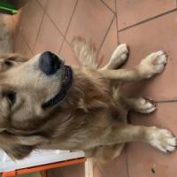 Golden Retreiver Puppies