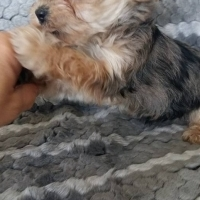 Traditional and Merle yorkie puppies available