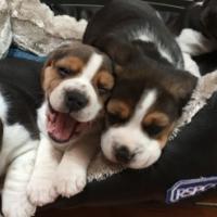 Tri-Colored Beagle Puppies