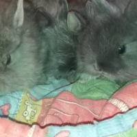 Dwarf Angora Jersey Woolie 6x baby bunnies
