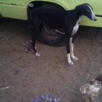 stolen grey hound