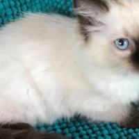 RAGDOLL KITTENS - REGISTERED BREEDER