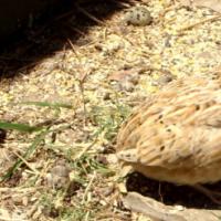 Jumbo Quail and Italian laying quail
