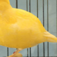 WANTED : BORDER CANARY HENS