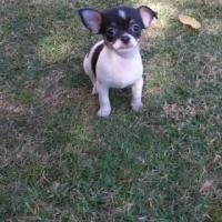 Beautiful Small Registered Chihuahua girl