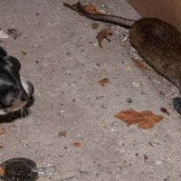 RODENT CONTROL - THE GREEN FIRM