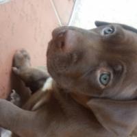 missing/ stollen puppy