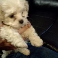 Maltese Puppies 8 weeks old
