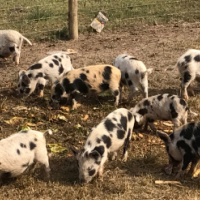 free range pigs for sale