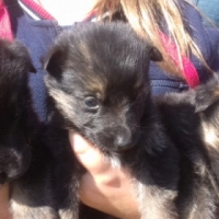 Purebread German Shephard puppies for sale