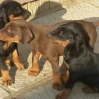 Pure bred Doberman puppies