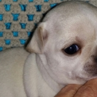 Chihuahua Puppies Registered & Microchipped