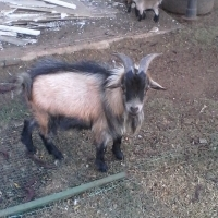 Dwarf Goat Male +-1 & 1/2 years old