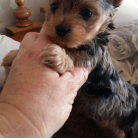 Yorkie Male puppies Available