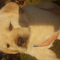 labrador blonde golden pups