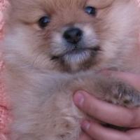 Toy Pom, Pomeranian, Male