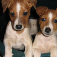 3 male jack russel puppies for sale