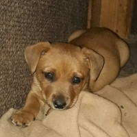 jack russell x yorkie puppies for sale