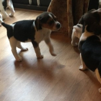 Beagle puppies 8weeks