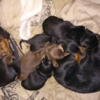 Dachshund. Puppies