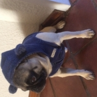 Most adorable pedigree Pug puppies available and ready to go!