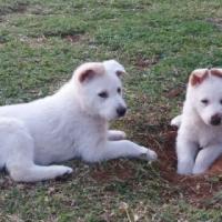 SWISS SHEPHERD PUPPIES FOR SALE