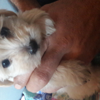 Maltese pups almost ready for their forever home